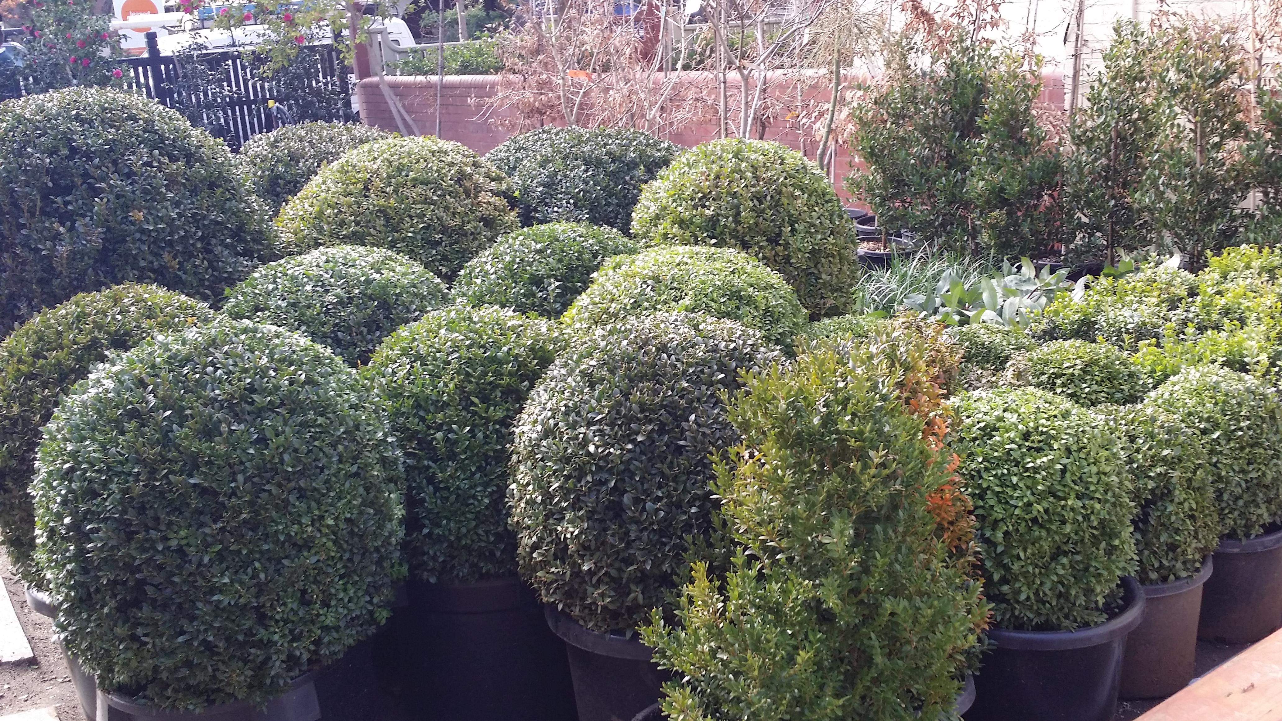 An abundance of buxus balls and other plants arrive on for Landscape design jobs melbourne